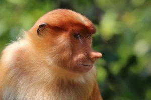 Proboscis_monkey_(Nasalis_larvatus)_female_Labuk_Bay