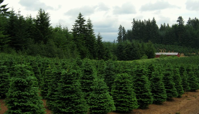 Christmas_trees_near_Redland_Oregon